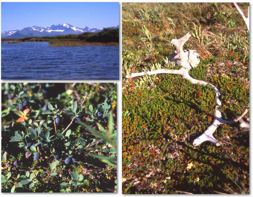Contact Creek, Caribou Antlers, Wild Blueberries